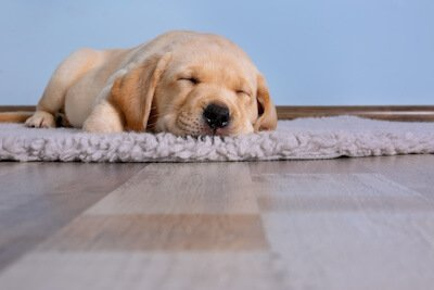 3 Ways to Prevent Fleas in the Home - Sleeping Dog Accurate