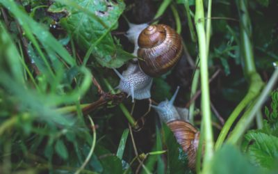 Are Snails a Threat to My Garden?