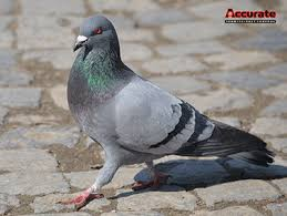 bird control services for pigeons