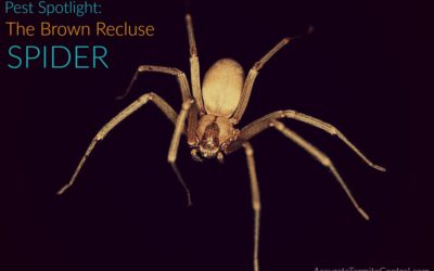 Pest Spotlight: What are Brown Recluse Spiders?