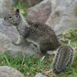 what threats do squirrels pose