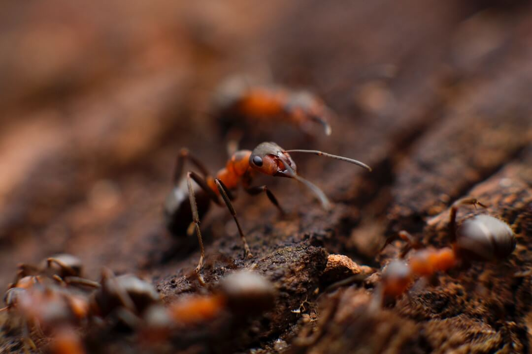 ants in south california