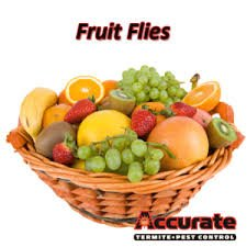how to rid of fruit fly infestation