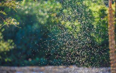 Gnat Swarms, King of Pesky Pests