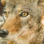 How to Get Rid of Coyotes - Accurate Termite & Pest Control
