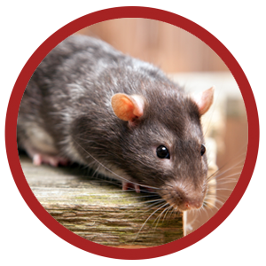 Rat Exterminator And Control Services Los Angeles Orange