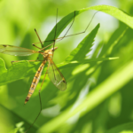 The-Difference-Between-Crane-Flies-and-Mosquitoes