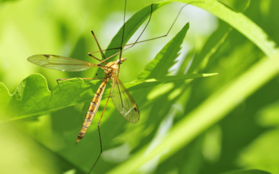 The Difference Between Crane Flies and Mosquitoes
