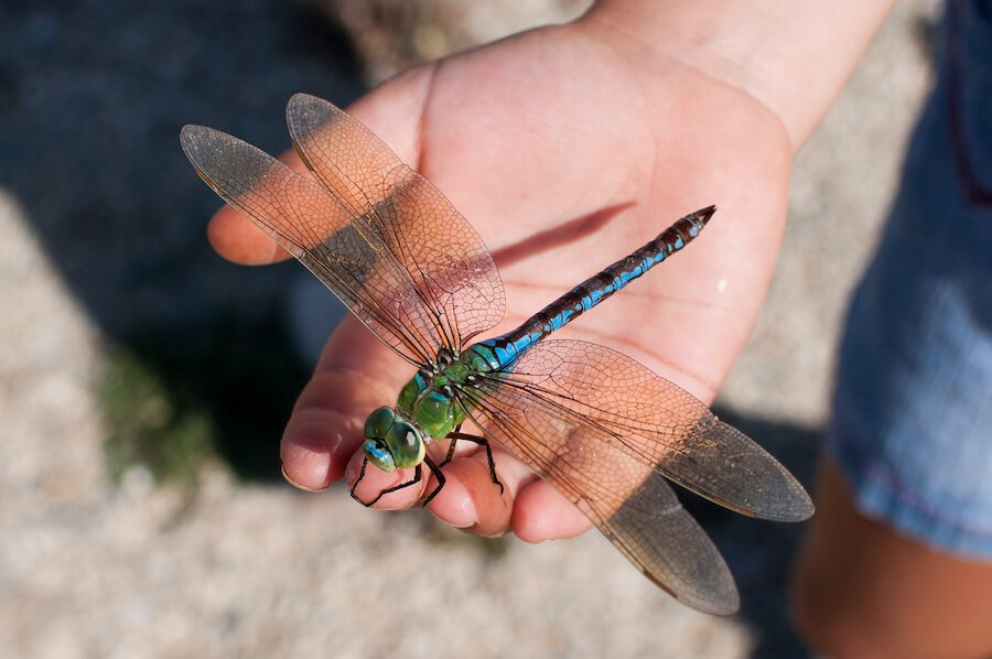Which Bugs Should We Be Grateful for This November - DragonFly