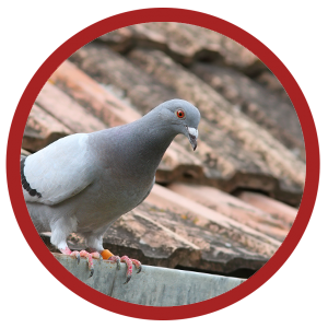 bird control services for pigeons on your roof
