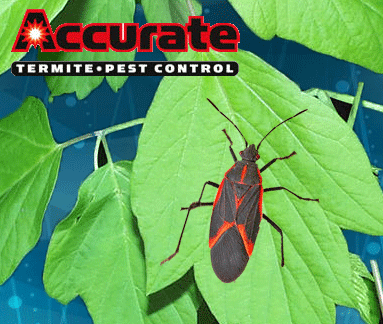 box-elder - Accurate Termite and Pest Control