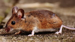 Mouse Exterminator to prevent mice near home