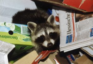 Raccoon Pest Control in garbage