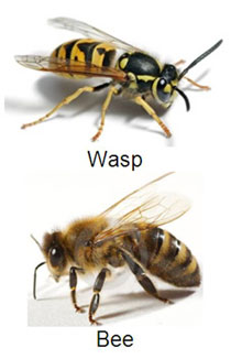 What Is The Difference Between A Yellow Jacket And A Wasp Bee and Wasps - Accura...